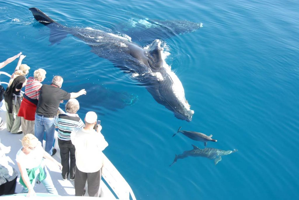 Whalesong_humpback_whale_lazy_breach_lg